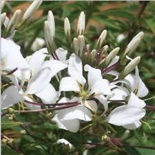 SENORITA LUNA CLEOME spinosa pure white lowers plant in 140mm pot