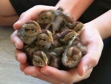 Quail- Bobwhite 25 Count Eggs fertile hatching