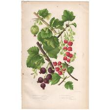 Anne Pratt antique 1860 botanical print Flowering Plants 81 Red Currant