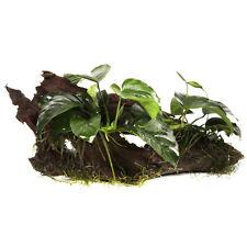 Tropica anubias barteri var. nana auf Wurzel Zwergspeerblatt Aufsitzer