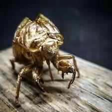 7 Cicada Shells: for Transformation Meditation Consciousness Spirituality Amulet