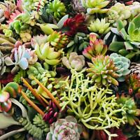 10 Assorted Succulent Cuttings Assorted Varieties by The Next Gardener