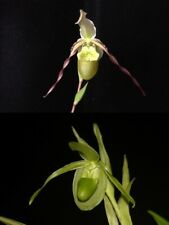 Phragmipedium Mantinii (Conchiferum x longifolium fma. album)