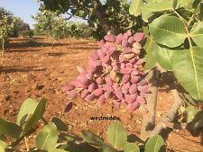 Turkish Antep Pistachios, GENUINE PISTACIA VERA Tree Fresh New Season 25 Seeds