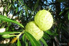 8 graines de BIJOUX DE FAMILLE(Gomphocarpus Physocarpus)G60 HAIRY BALLS SEEDS