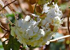 Hydrangea anomala Winter Suprise in 7cm pot semi-evergreen climbing hydrangea