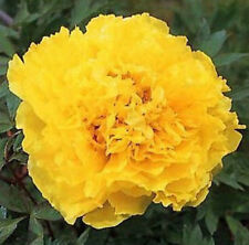 Golden Yellow Flower China's Peony Seeds Paeonia suffruticosa Tree DIY Garden
