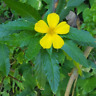 Jamaican Damiana (Ramgoat Dash Along) Wildcrafted Libido Anxiety Depression Herb