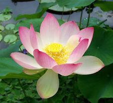 5 Pink Lotus Nelumbo Nucifera Flower seeds * Not water lily *Easy grow*
