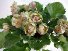 African violet: LE Malakhitova Rosa - young plant