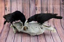 Pair Ravens on real Donkey Skull Specimen Premium Taxidermy