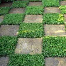 Rupturewort Green Carpet Ground Cover Seeds (Herniaria Glabra) 200+Seeds