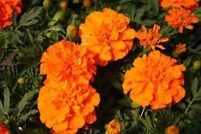 Marigold- Tagetes Erecta- Orange- 50 Seeds