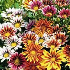 40+ GAZANIA SUNSHINE MIX FLOWER SEEDS / DEER RESISTANT/ EARLY SUMMER TO FROST