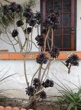 Aeonium arboreum 'Zwartkop', Large Purple Aeonium, Black Rose