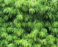 i! STEINEIBE !i winterharter frostharter Baum Garten Pflanze Exot Samen Saatgut