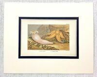 1855 Antico Stampa Mare Creatures Stella Marina Pesce Anemone Cromolitografia