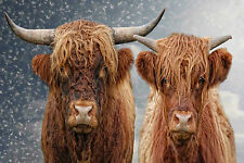 STUNNING SCOTTISH HIGHLAND CATTLE CANVAS #1 QUALITY WALL ART PICTURE A1