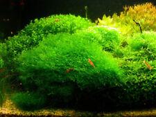 Aquatic Tropical Fish Tank Plants Riccia & Java Moss
