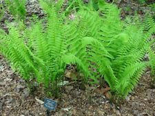 5 Tennessee Ostrich Fern / Glade  Fern PREMIUM NATIVE WOODLAND FERNS BARE ROOT