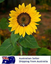 ORGANIC Sunflower Seeds Easy to Grow X 2 packs  (more than 40 seeds)