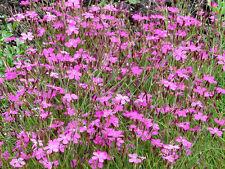550 Maiden Pinks Dianthus Deltoides Flower Seeds +Gift