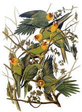 Audubon Carolina Parakeet 30x44 Hand Numbered Edition Fine Art Folio Edition