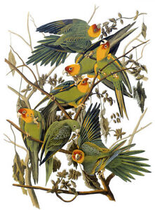 Audubon Carolina Parakeet 30x44 Hand Numbered Edition Fine Art Folio Edition