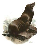 Impression Affiche papier Histoire Naturelle l'Otarie de Californie , Zalophus