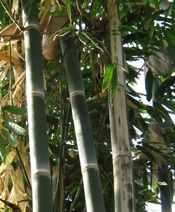 Bis 30 cm/Tag: 50 Samen Riesenbambus / Kalkuttabambus (Dendrocalamus strictus)