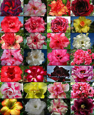 "New! Adenium Obesum Desert Rose ""Mixed"" 1000 Seeds 24 Type!"