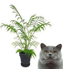 2 Pemba Palmen schnellwüchsig immergrün blühend Zimmerfarne pflegeleicht einfach