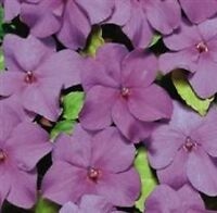 Impatiens/Busy Lizzy - Tempo Violet - 25 Seeds
