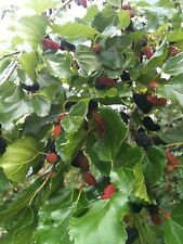 MAUI MULBERRY PLANTS 10 CUTTING 5 INCHES EACH EASY TO ROOT