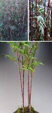 Roter Bambus exotische duftende Pflanzen für die Wohnung drinnen Zimmerpflanze