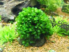 Fissidens sp. Mallorca Mallorca Phönixmoos *Rarität* moss Wasserpflanze