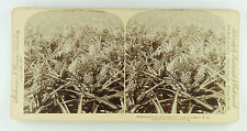Underwood & Underwood Stereoview Close-Up View Pineapples Growing, Florida 1895