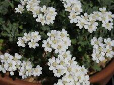 Achillea Huteri -Dwarf Evergreen Alpine Rockery Perennial Plant in 9cm Pot