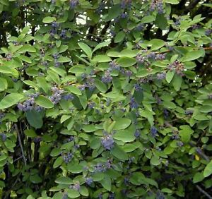 Cotoneaster affinis - Rare Potted Tree Plant in 9cm Pot