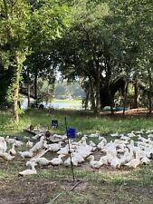 12 Fertile Pekin Duck Hatching Eggs