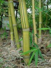Bambusa Ventricosa 'Kimmei'