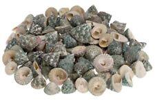 NaDeco® Troca grün 1kg, ca. 2-5cm | Trochus maculatus grün | Schneckenhaus