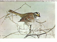White Throated Sparrow  zonotrichia albicollis  Mail 1968  Chrome Postcard 2218