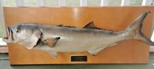 Atlantic Bluefish Taxidermy 32 inch 15 lbs Real Fish Mounted