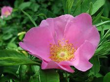 20 graines de ROSIER DES MARAIS(Rosa Palustris)H130 SWAMP ROSE SEEDS SAMEN SEMI