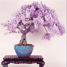 True Flower Ornamental Wisteria Seeds Bonsai Tree Sinensi Rare Beautiful 10 Seed