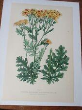 Yellow Orange Common Ragwort Antique Floral Botanical Print or Stinking Willie