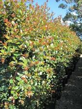 CINNAMON TWIST LILLY PILLY Syzygium austral native topiary/hedge plant 140mm pot
