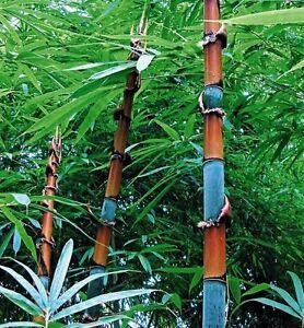 Cephalostachyum pergracile (Tinwa Bamboo) 10 Plant Seeds •RARE Outdoor Garden UK