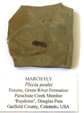 More details for  fossil march fly  plecia pealei 55 myo  colorado usa with display stand